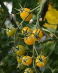 Natureトマト